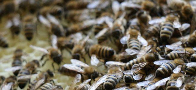 Honig für den Bürgermeister
