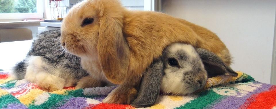 Widder-Kaninchen mit Kuschelfaktor